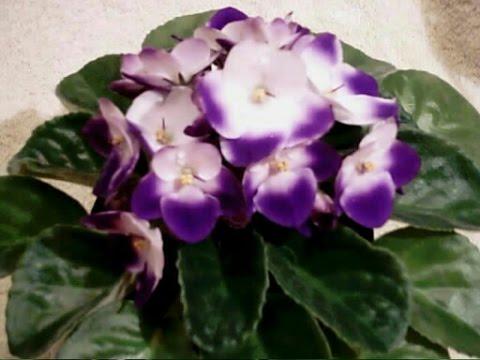 Виола, или фиалка садовая