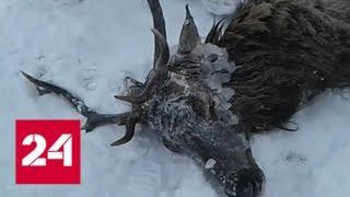 В окрестностях Байкала охотники спасли провалившегося в полынью изюбра - Россия 24
