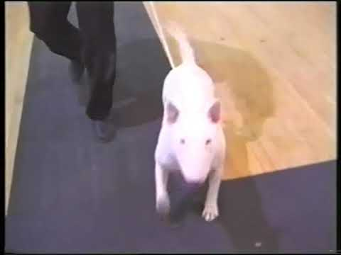 The Bull Terrier Club - Trophy Show 1999