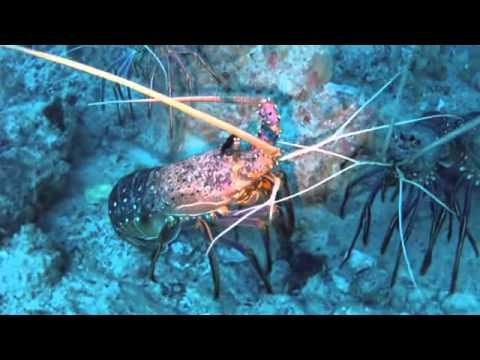 Catching Crayfish In WA