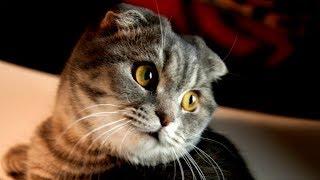 Шотландские Вислоухие Котики МИЛАШКИ - Прекрасные Создания | ПОРОДЫ КОШЕК