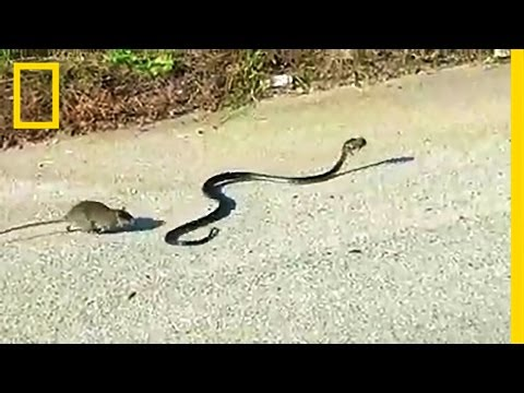 Watch: Mother Rat Saves Baby from Snake | National Geographic