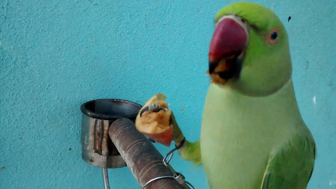 What to feed a parrot 58