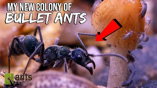 My New BULLET ANT Colony
