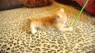 Котенок Норвежская лесная кошка