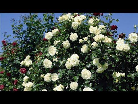 Роза дерево! Обрезка плетистой розы Шнеевальцер