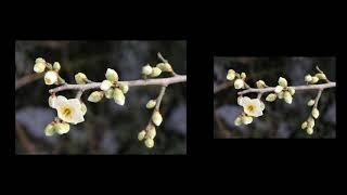 雪花園의 靑梅花 봄 봄 봄 2018