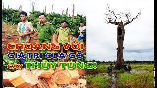 Choáng với giá trị khủng của gỗ cây THỦY TÙNG vừa bị chặt trộm ở Đắc Lắc