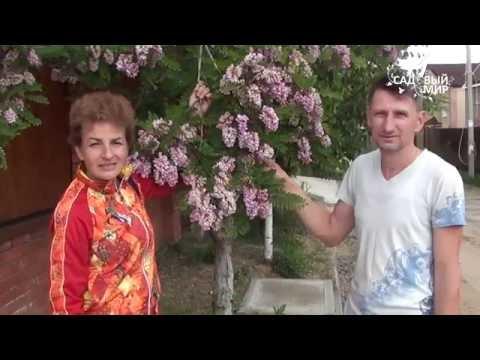 """Чудо-дерево! Розовая """"акация"""" в Средней полосе Робиния клейкая"""