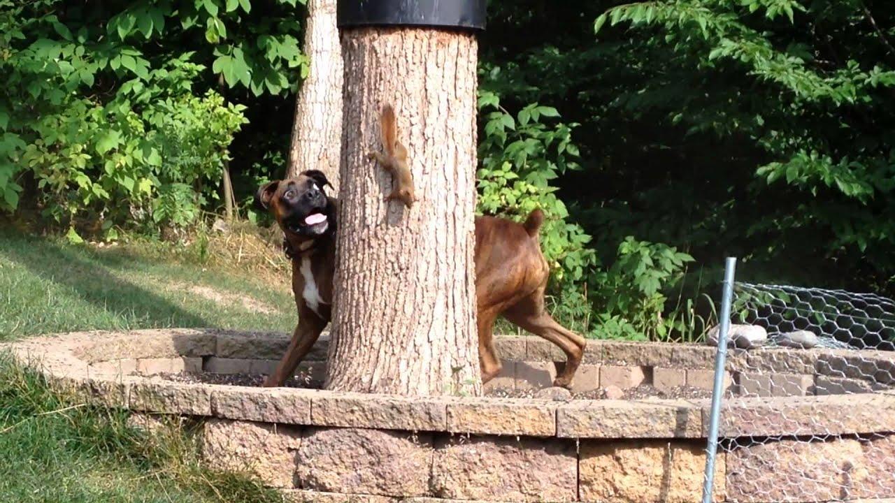 Resultado de imagen para boxer and squirrel