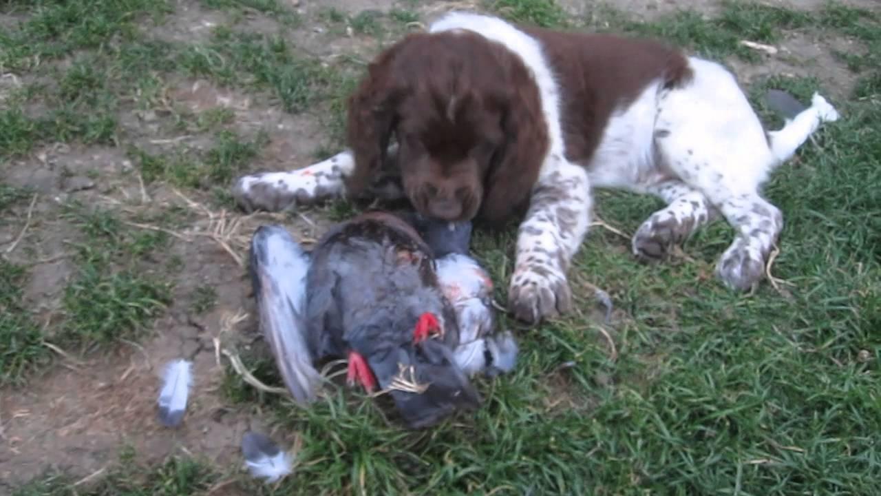 Le jeune Münsterlander et le pigeon : dressage de chien d