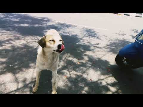 Deshi dog eating biscuits#Animals kingdom