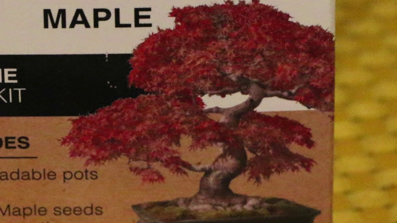 Growing Japanese Maple Bonsai Tree From Seeds Part 1 Stratify The Seeds Youtube