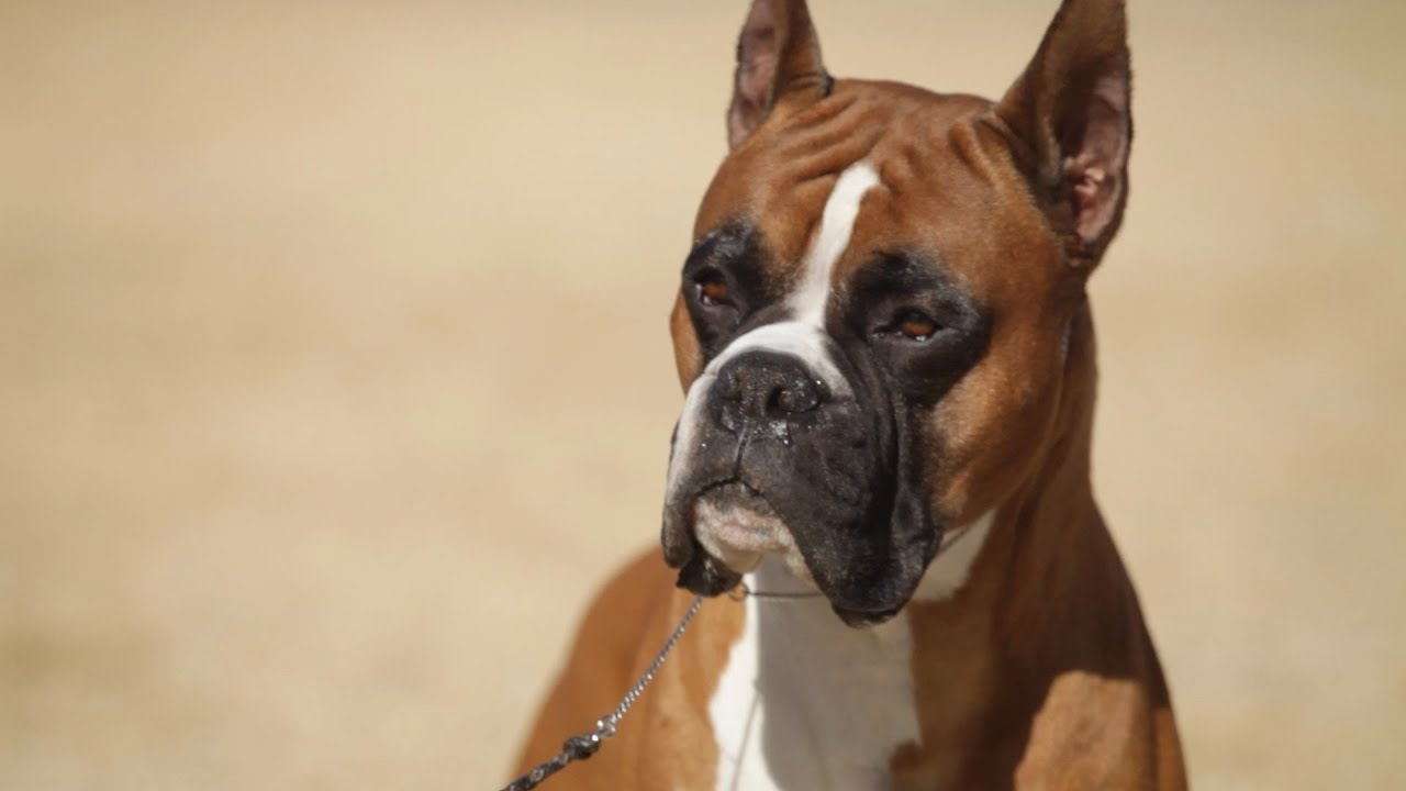 boxer a dog lover s introduction youtube
