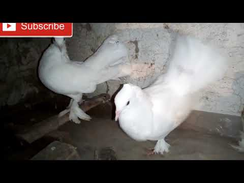 Fancy Pigeons For Sale At faisal Pigeon Loft | Masakali Kabo