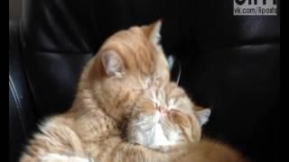 Приколы с котами (умиляют рыжие коты, это любовь),нежно и смешно!