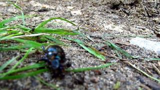 skarnbasse bliver angrebet af myrer