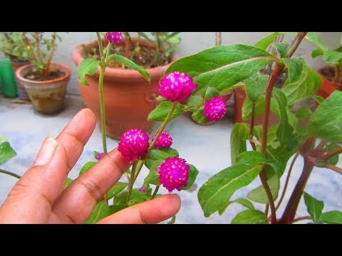 Summer Flowering Plant Gomphrena Caring Tips