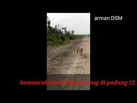Kemunculan Harimau Loreng Di Padang 12