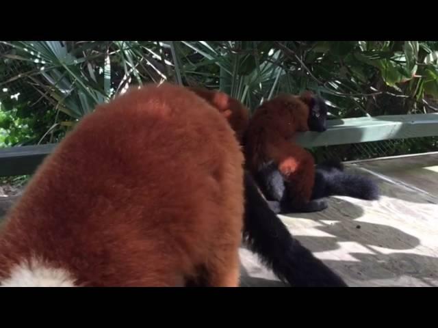 Tari Mannello on  Necker with Sir Richard Branson's Lemurs Part III