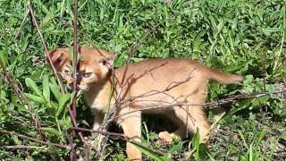 Абиссинские котята питомника Glam Abys