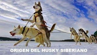 Perros Mascotas Husky Siberiano La Leyenda Continua 1ª Parte