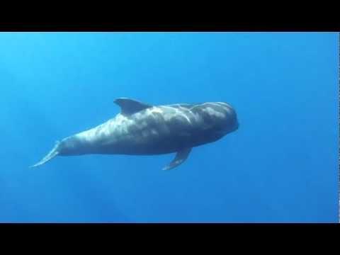 Short-Finned Pilot Whales In Tenerife Underwater