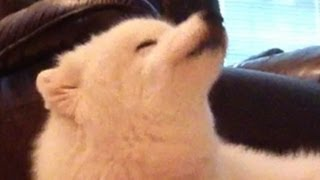 Glacier The Singing Samoyed Dog - Jammin' On An American Theme! -funny!
