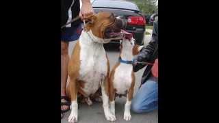 Akc Boxer Dogs