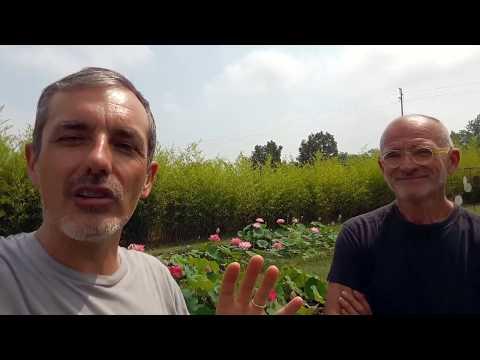 Piante acquatiche: fior di loto (nelumbo) - coltivazione e caratteristiche -