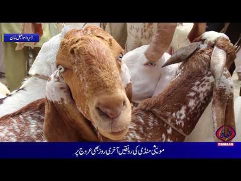 Bakra mandi On Eid Ul Adha Dera Ismail khan Damaan Tv