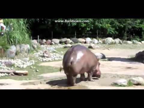 Hippo pieraisee :D