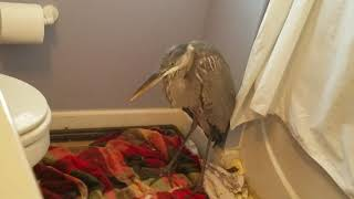 Great Blue Heron Release - Nature