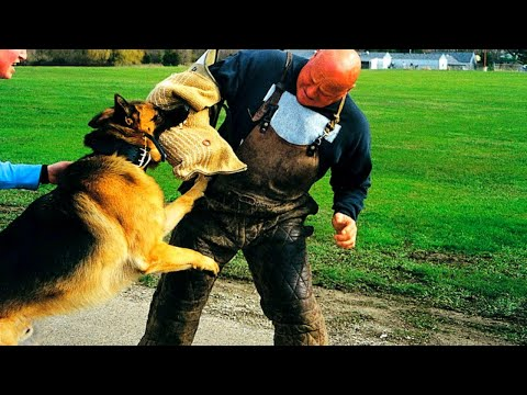 top-10-trainable-dog-breeds