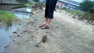 後を追いかけて来るネズミ