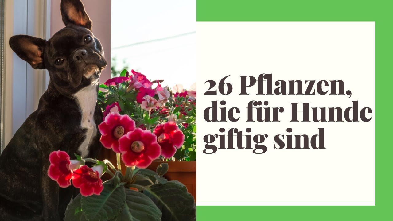 26 giftige Zimmerpflanzen für Hunde!