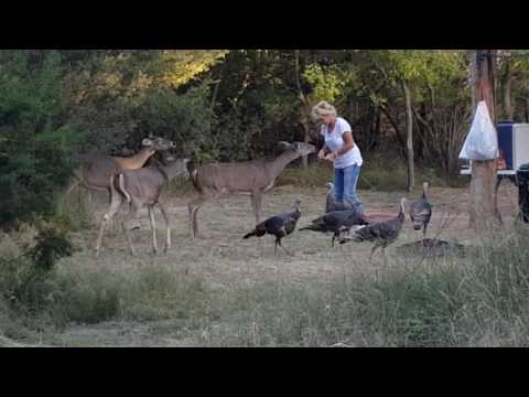 Feeding friendly deer and turkey at Palo Duro