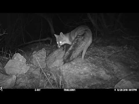 Texas Trail Cams Compilation - Mainly Ringtails Jan. 1, 2019