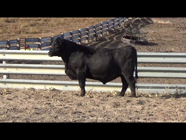 Connealy Angus Lot 204