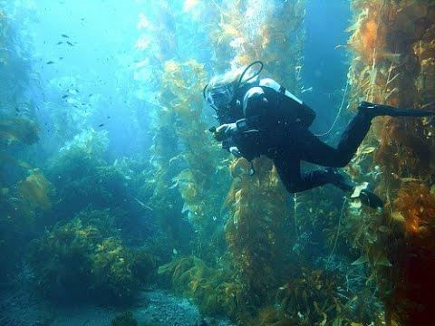 Морские водоросли: ламинария, фукус