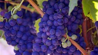 3 основных этапа осеннего ухода за виноградом