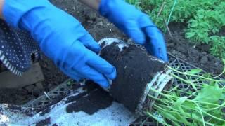 Результаты посева семян перца в 'улитку'. Высадка рассады.