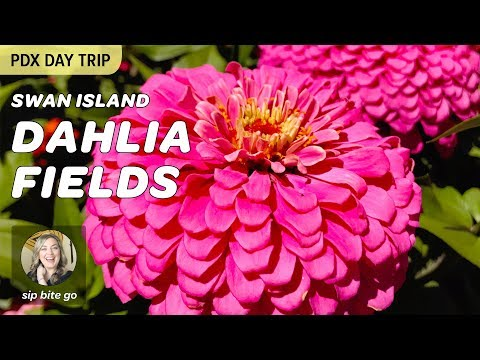 Dazzling flowers at Swan Island Dahlias in Canby, Oregon (a PDX day trip + Oregon Festival event)