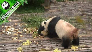 Busy with pooping, panda mom doesn