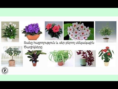 Տանը հաջողություն և սեր բերող սենյակային Ծաղիկները