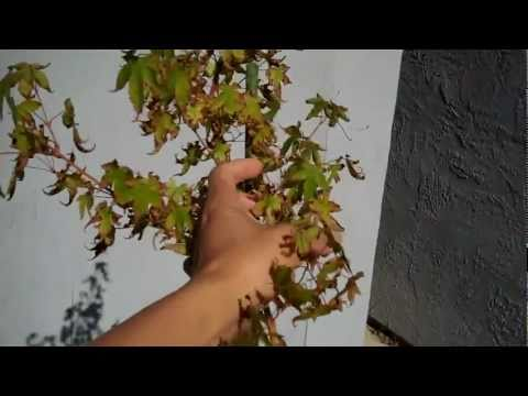 How To Deal With Sunburn Japanese Maple Leaves By Deleafing (defoliate)