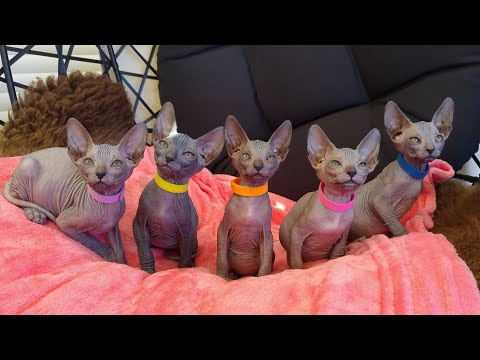 Funny-Cute Sphynx kittens turning their heads from right to left / DonSphynx /