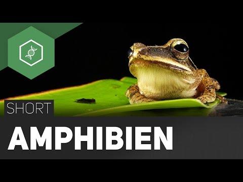 Amphibien - #TheSimpleShort