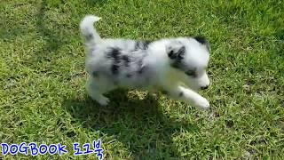 양몰이개 보더콜리 Border Collie 강아지훈련 …