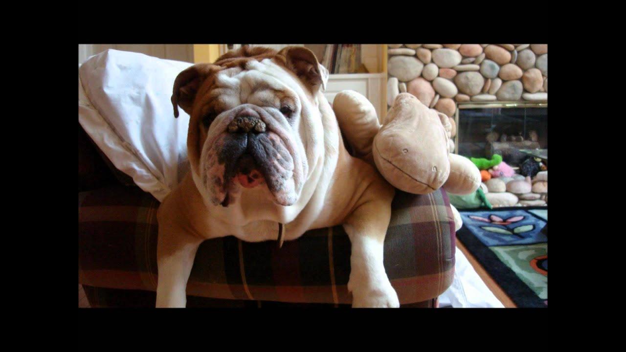 Life of an English bulldog Google Lee - YouTube